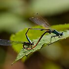 damselflies mating by chrisdeschepper