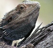 wild bearded dragon on tree by shatterkite