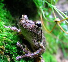 brown tree frog by shatterkite