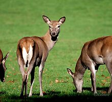 Red Deer Wollaton Park by Elaine123