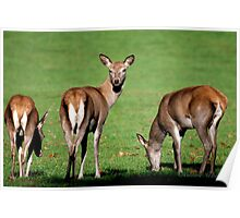 Red Deer Wollaton Park Poster