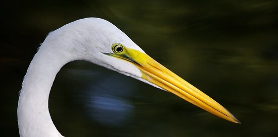 Portrait of an Egret by Alison M