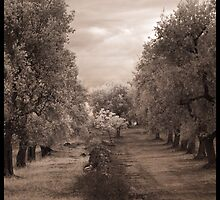 Olive Grove, Italy  by Rene Hales