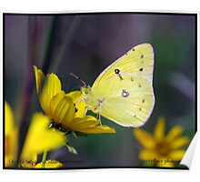Orange Sulphur butterfly... Poster