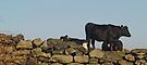 Well, did you heifer.......? by WatscapePhoto