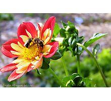 Bees drunk on dahlia pollen # 4 Photographic Print