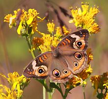 Buckeye Butterfly by naturalnomad