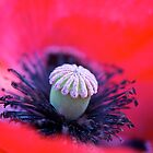 Burlesque Poppy by Lisa Knechtel