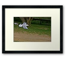 seagul at penguin island Framed Print