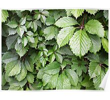 Dark green leaves of grapes close-up Poster