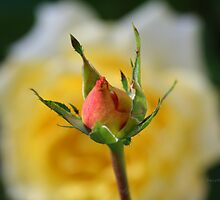 Yellow Rose Bud With Distant Yellow Rose Background by Terry Aldhizer