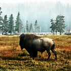 Bison V by Miles Glynn