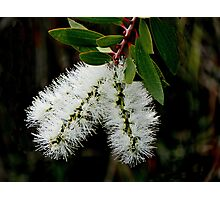 White Bottle Brush Bloom Photographic Print