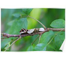 Giant Swallowtail Caterpillar Poster