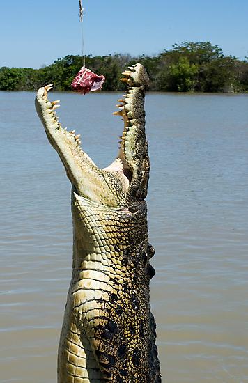 Chomp - salt water croc on Adelaide River, NT by Jenny Dean