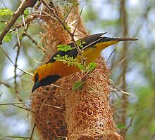 Spectacled Weaver & Nest, Tarangire NP, Tanzania, Africa by Adrian Paul
