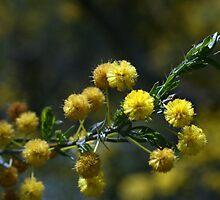 Australian wattle - green and gold  by Joanne Emery