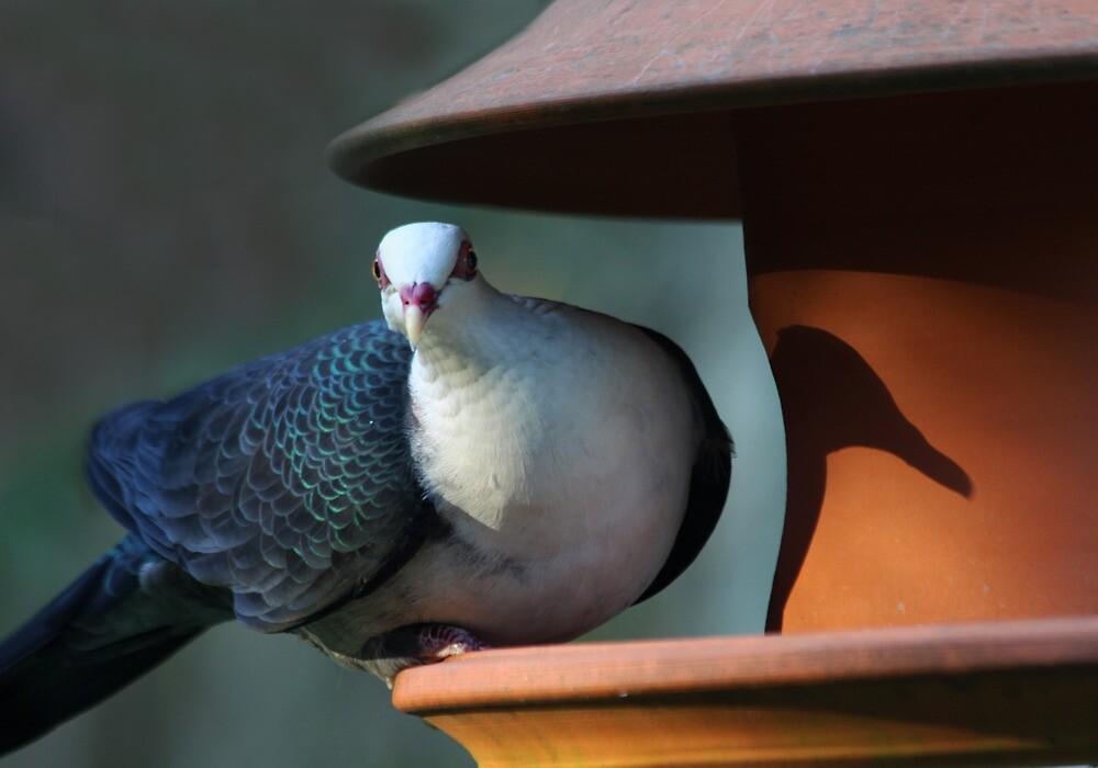 A Shy Rainforest Pigeon by byronbackyard