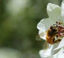 Bee with pollen on the blossom by Joanne Emery