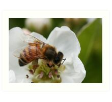 Bee with pollen on the blossom Art Print
