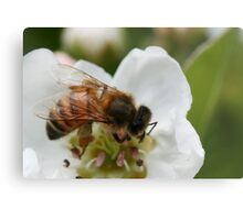 Bee with pollen on the blossom Metal Print