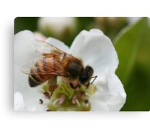 Bee with pollen on the blossom Canvas Print