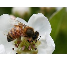 Bee with pollen on the blossom Photographic Print