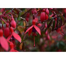 Dewy Irish Fuschia Photographic Print