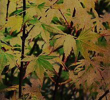 Chinese Maple by Deb Gibbons