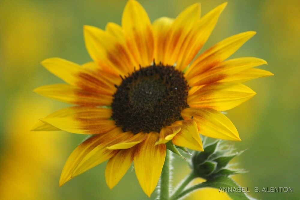 the big yellow by ANNABEL   S. ALENTON