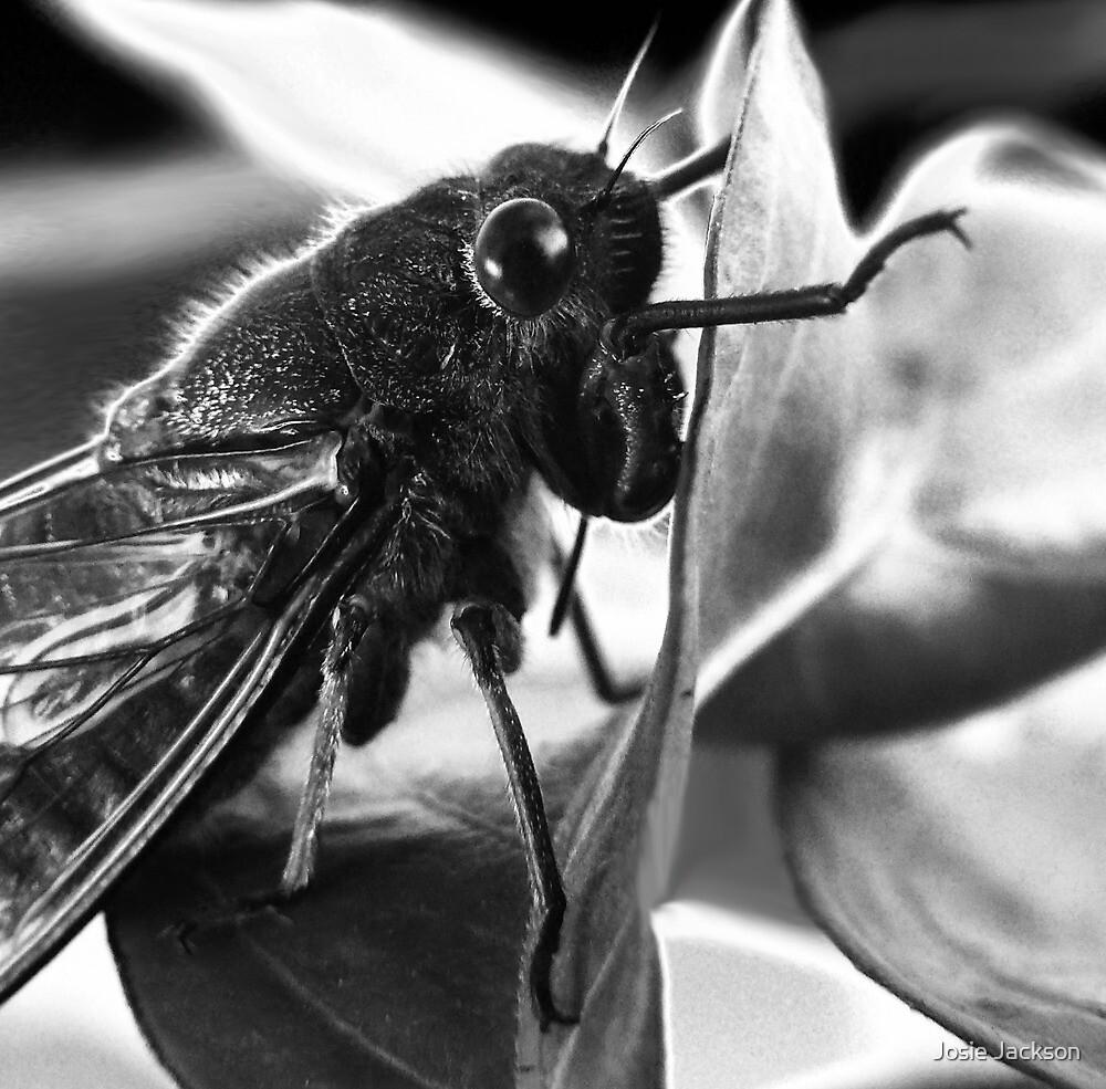 Cicada by Josie Jackson