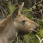 Baby Moose by Todd Weeks