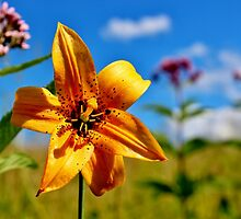 American Tiger Lily II by Kathleen Daley