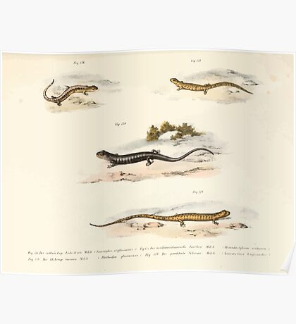 Leopold Joseph Fitzinger 1867 0213 Picture Atlas for popular scientific natural history of vertebrates Poster