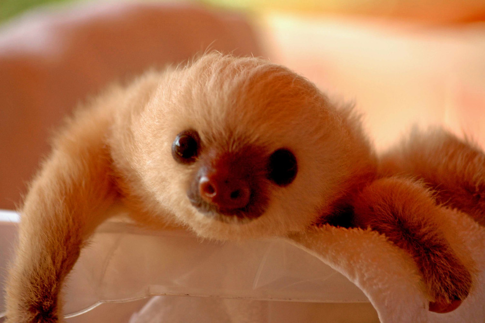 Baby sloth in a nursery of Costa Rica by Marieseyes