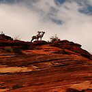 Bighorn Sheep, Zion National Park by Wayne Cook