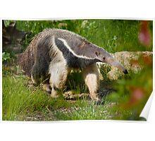 Giant anteater Poster