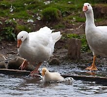 Splash: Young gosling with adult geese by Ann Miller