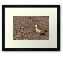 Marching on: Young Gosling+ Framed Print