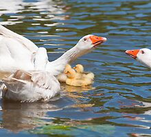 Protection: Adult geese protest young goslings by Ann Miller