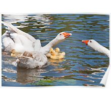 Protection: Adult geese protest young goslings Poster