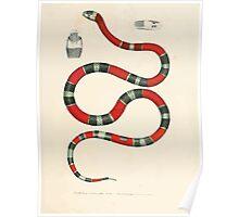 Leopold Joseph Fitzinger 1867 0115 Picture Atlas for popular scientific natural history of vertebrates Poster