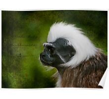 Colubus Monkey  Poster