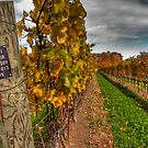 Sideways View of Pinot Noir Vineyard by Marilyn Cornwell