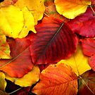 Pear Leaves In Fall by Sharon Woerner