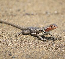 Female Lava Lizard by mgeritz