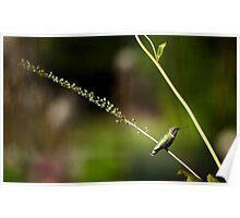Resting Hummingbird #1 - Thuya Garden Poster