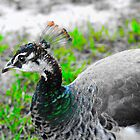 Peacock Hen  by chadc11