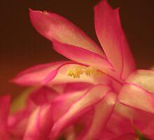 Christmas Cactus - Macro by Mark Theriault