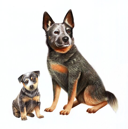Australian Cattle Dog by Karen  Hull